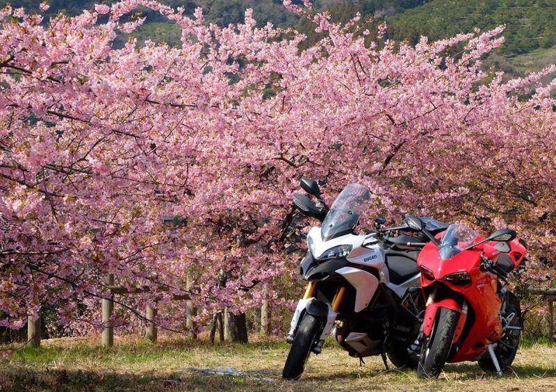 河津桜とDUCATI