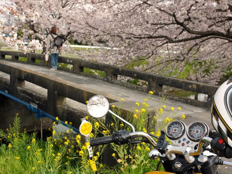 サクラ咲く橋の上で。