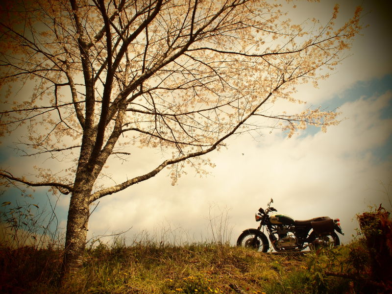 オートバイとサクラ