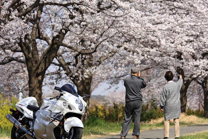 みんなの桜の楽しみ方