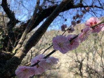 梅、咲いて来ました!久々のタンデムツーです♪ | Webikeツーリング