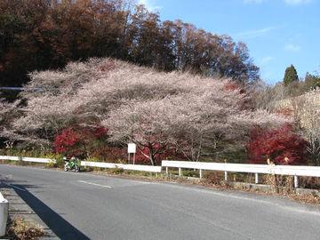 桜と紅葉が | Webikeツーリング