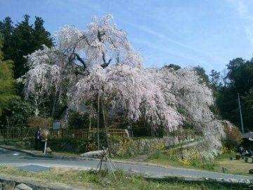 桜の名所巡り | Webikeツーリング