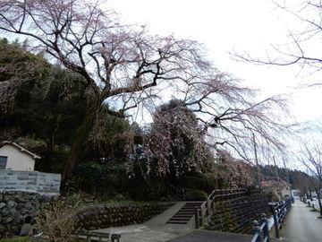 日田しだれ桜見物!! | Webikeツーリング
