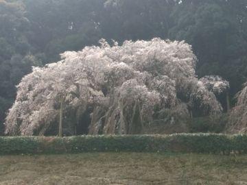 しだれ桜 その後 | Webikeツーリング