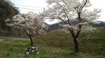 夫婦桜 | Webikeツーリング