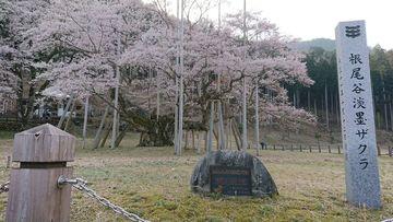 薄墨桜へお花見ツー@Dトラッカー125 | Webikeツーリング