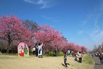 南関東・春の花めぐり/圧巻の花桃と女子大日本一の桜 | Webikeツーリング