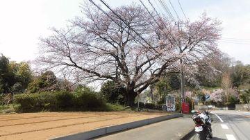 並木もイイけど、一本桜も捨てがたい! | Webikeツーリング