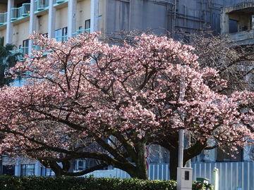 桜はまだか?(河津桜) | Webikeツーリング