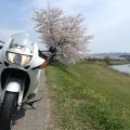 丹波篠山の誰もいない桜並木 | Webikeツーリング