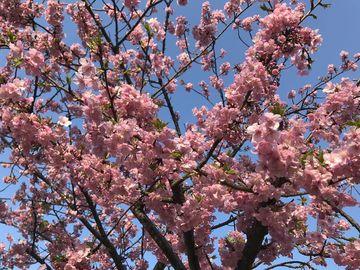 今年も2月24日は桜が見頃でした♪ | Webikeツーリング