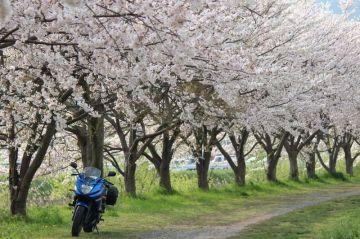 猪野川沿いの桜並木 | Webikeツーリング