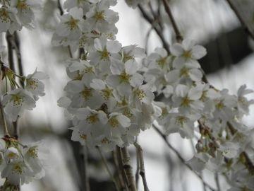 早咲きの、「奥山田のしだれ桜」・・・1300年の歴史 | Webikeツーリング