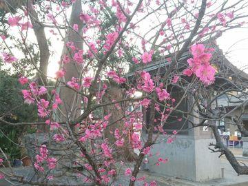 春の足音は 梅と桜と富士の山 | Webikeツーリング
