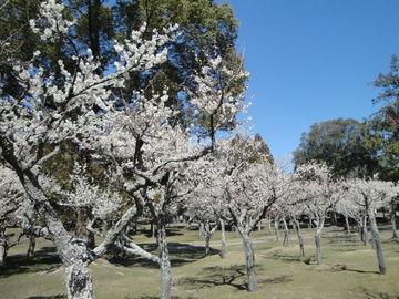 -奈良公園- 紅梅満開!!! | Webikeツーリング