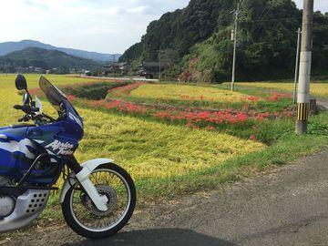 秋の蕨野、黄色い稲穂と彼岸花   Webikeツーリング