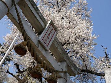 見頃を狙え! 日本五大桜 石戸蒲桜 | Webikeツーリング