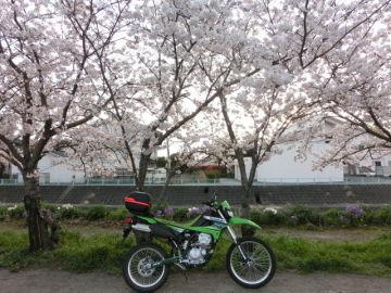 近所のさくら並木 | Webikeツーリング
