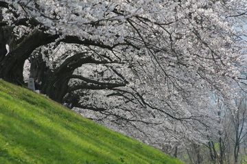 背割堤の桜(淀川河川公園背割堤地区) | Webikeツーリング