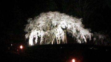 リベンジ しだれ桜 夜間照明  | Webikeツーリング
