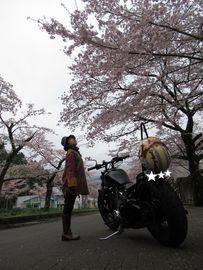 束の間の桜満喫2017春SLもあるよ&流行りの寝冷えネコ作った♪ | Webikeツーリング