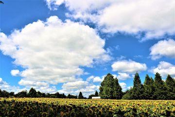 雲と青空と ひまわり | Webikeツーリング