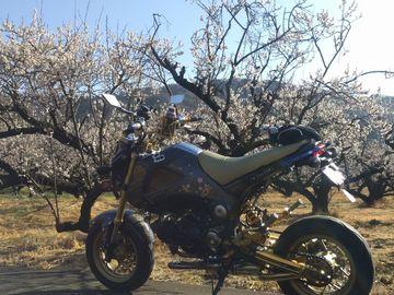 梅と桜 お花見朝駆け | Webikeツーリング