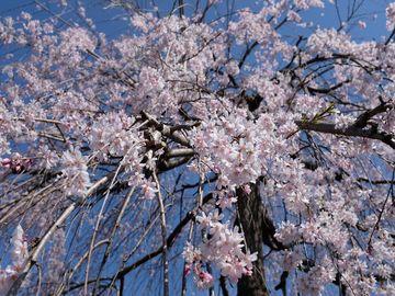 見頃を狙え! 鉢形城のエドヒガン桜 | Webikeツーリング