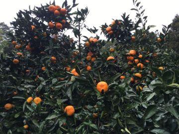 周防大島で蜜柑狩り | Webikeツーリング