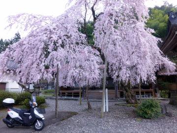散る桜 残る桜も 散る桜   Webikeツーリング