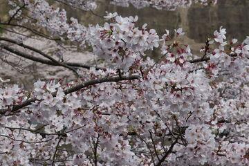 桜 | Webikeツーリング