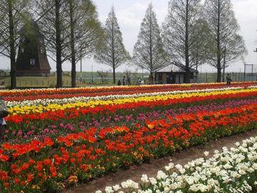 チューリップすごく綺麗ですよ~♪あけぼの山公園 | Webikeツーリング