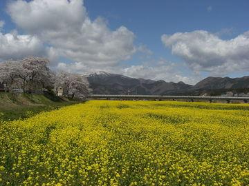 残雪・桜・菜の花の絶妙な風景です | Webikeツーリング