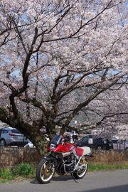 桜を見なければ・・・(絶景ポイントちゃうし) | Webikeツーリング