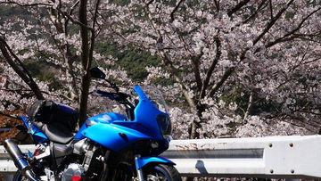 お花見本番!!紀州桜花見ツーリング♪ | Webikeツーリング