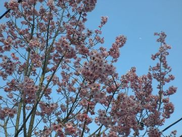 岡堰の桜・・・あとちょっとデス^^ | Webikeツーリング