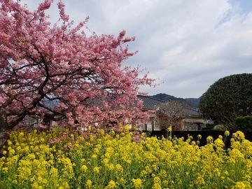 河津桜まつり ツーリング | Webikeツーリング