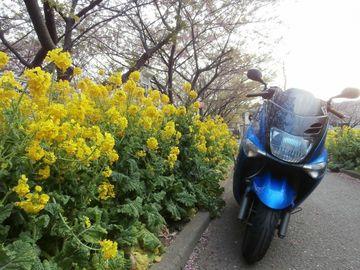 三浦海岸 サクラの開花情報 | Webikeツーリング