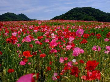天空のポピー畑 | Webikeツーリング
