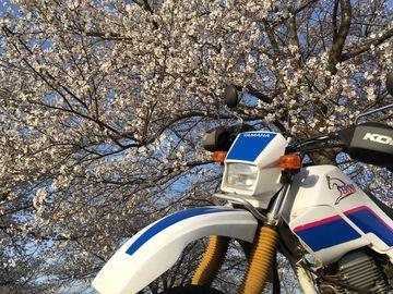 週末は信州のビーナスラインと桜狩はいかがでしょう?   Webikeツーリング