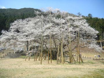根尾の薄墨桜 | Webikeツーリング