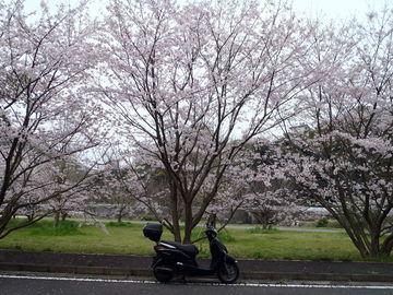 桜に間に合いました。 | Webikeツーリング