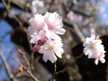 やはり名所の寒桜は良かった(城峯公園 寒桜) | Webikeツーリング