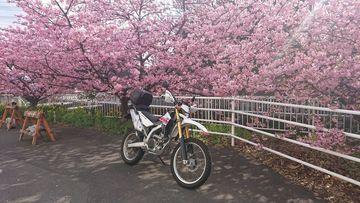 春近し、河津桜満開   Webikeツーリング