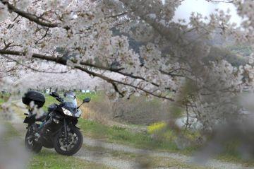 近所でも桜スポットの良い所がありました | Webikeツーリング