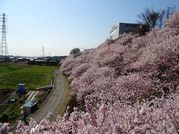 神奈川県南足柄市の桜・数カ所 | Webikeツーリング
