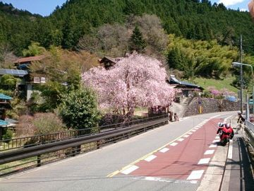 少し遅咲きのしだれ桜 | Webikeツーリング
