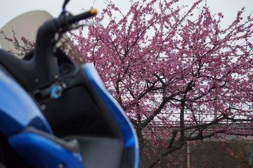 新春ですが サクラの開花情報! | Webikeツーリング