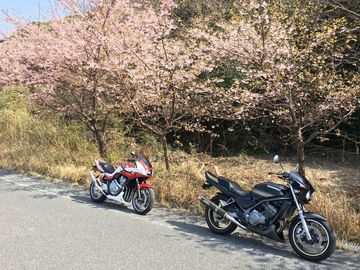 河津桜を見に上関まで | Webikeツーリング